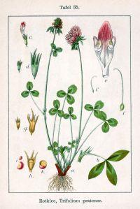 799px-Trifolium_pratense_Sturm35