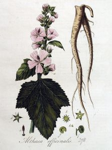 892px-Althaea_officinalis_—_Flora_Batava_—_Volume_v4