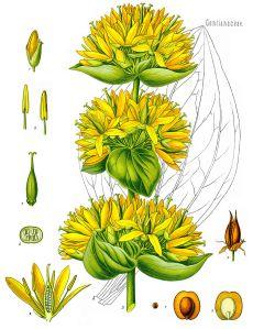 921px-Gentiana_lutea_-_Köhler–s_Medizinal-Pflanzen-066