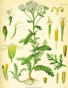 926px-Achillea_millefolium_(Köhler)