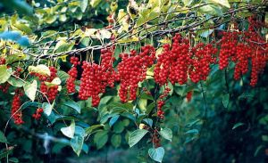 cytryniec-chinski-schisandra-chinensis-30-nasion_0_b-1