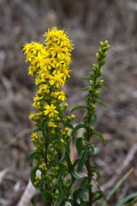 Golden_Rod_-_Solidago_virgaurea-8632
