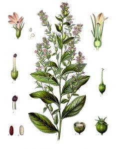 Lobelia_inflata_-_Köhler–s_Medizinal-Pflanzen-218-1