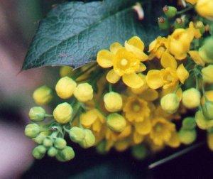 Mahonia_aquifolium_flowers2