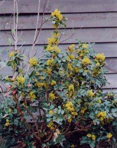 Mahonia_aquifolium_plant