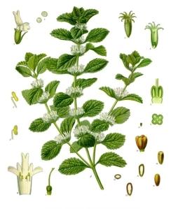 Marrubium_vulgare_-_Köhler–s_Medizinal-Pflanzen-224