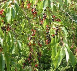 Prunus_serotina_in_fruit_web_resized