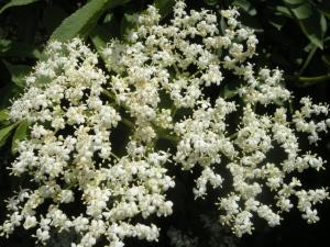sambucus-nigra-flower