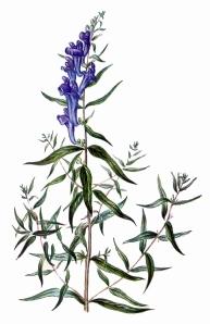 Øëåìíèê áàéêàëüñêèé – Scutellariae baicalensis