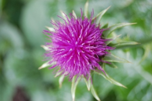 silybum-marianum-flower