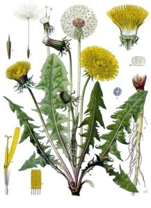 Taraxacum_officinale_-_Köhler–s_Medizinal-Pflanzen-135