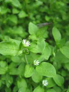th_Chickweed_01