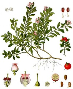bearberry_diagram
