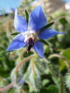 1024px-B._officinalis-flor-1