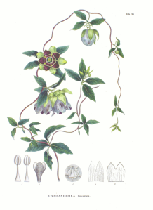1024px-Codonopsis_lanceolata_SZ91