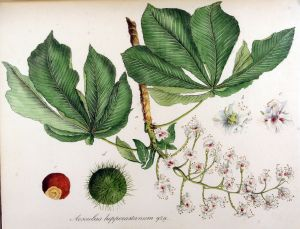 1567px-Aesculus_hippocastanum_—_Flora_Batava_—_Volume_v12-1