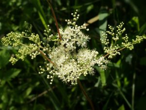 1600px-Filipendula_ulmaria_(flowers)