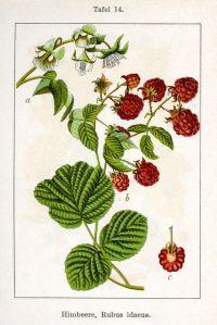 799px-Rubus_idaeus_Sturm08014