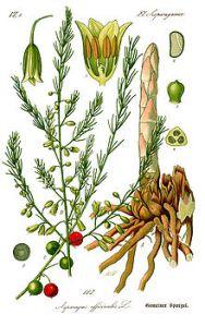 Asparagus racemosus-1