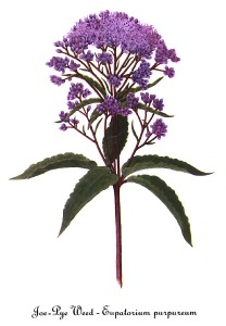Eupatorium_purpureum,_by_Mary_Vaux_Walcott