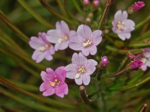 Onagraceae_-_Epilobium_parviflorum-2