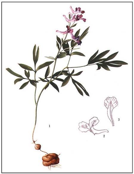 Corydalis Ambigua Materia Medica