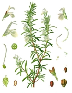 Rosmarinus_officinalis_-_Köhler–s_Medizinal-Pflanzen-258