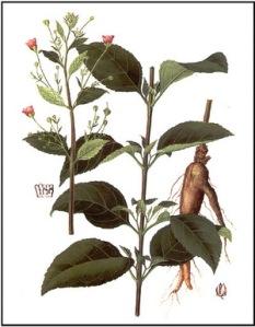Scrophularianingpoensis