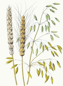 wheat-sativum-oats